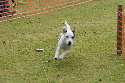 Russell Terrier Rennen auf der Rabeninsel