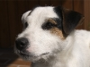 Ein Porträt von unserem Parson (Jack) Russell Terrier Rüden